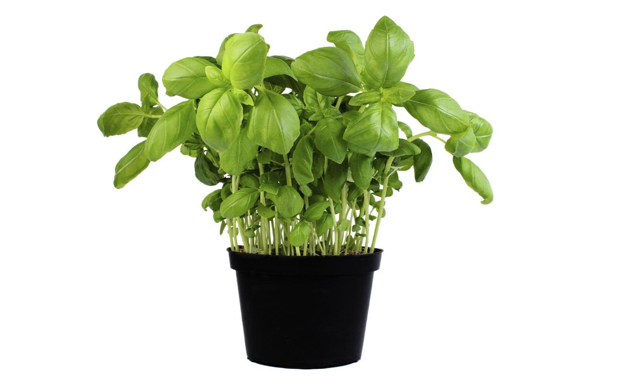 Cultivo de albahaca en maceta y kits ecogardenirisana for Plantas en macetas