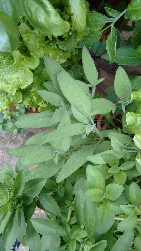 salvia_ecogarden_varias_plantas