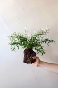 planta_para_kokedama_ecogardenirisana