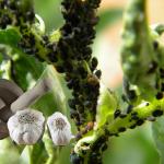 plagas_plantas_ajo_ecogarden_irisana